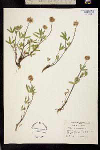 Trifolium eriocephalum image