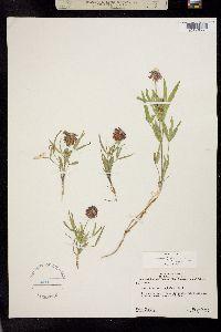 Image of Trifolium eriocephalum