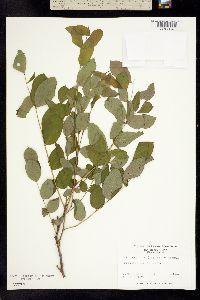 Image of Robinia elliottii