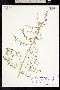 Image of Mimosa rupertiana