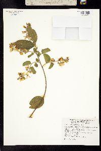 Image of Securidaca diversifolia