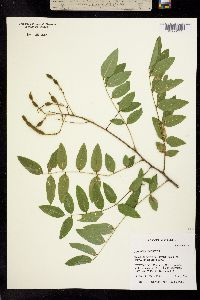 Image of Styphnolobium affine