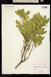 Image of Sophora secundiflora