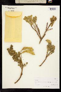 Image of Sophora tomentosa