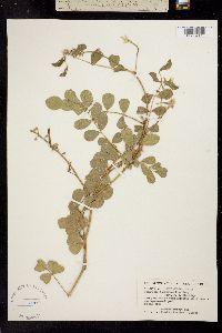 Tephrosia lindheimeri image