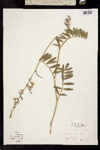 Image of Tephrosia onobrychoides