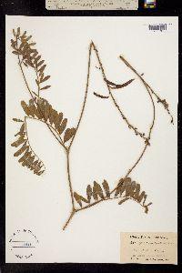 Tephrosia onobrychoides image