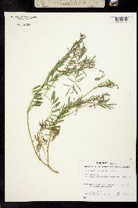 Image of Tephrosia purpurea