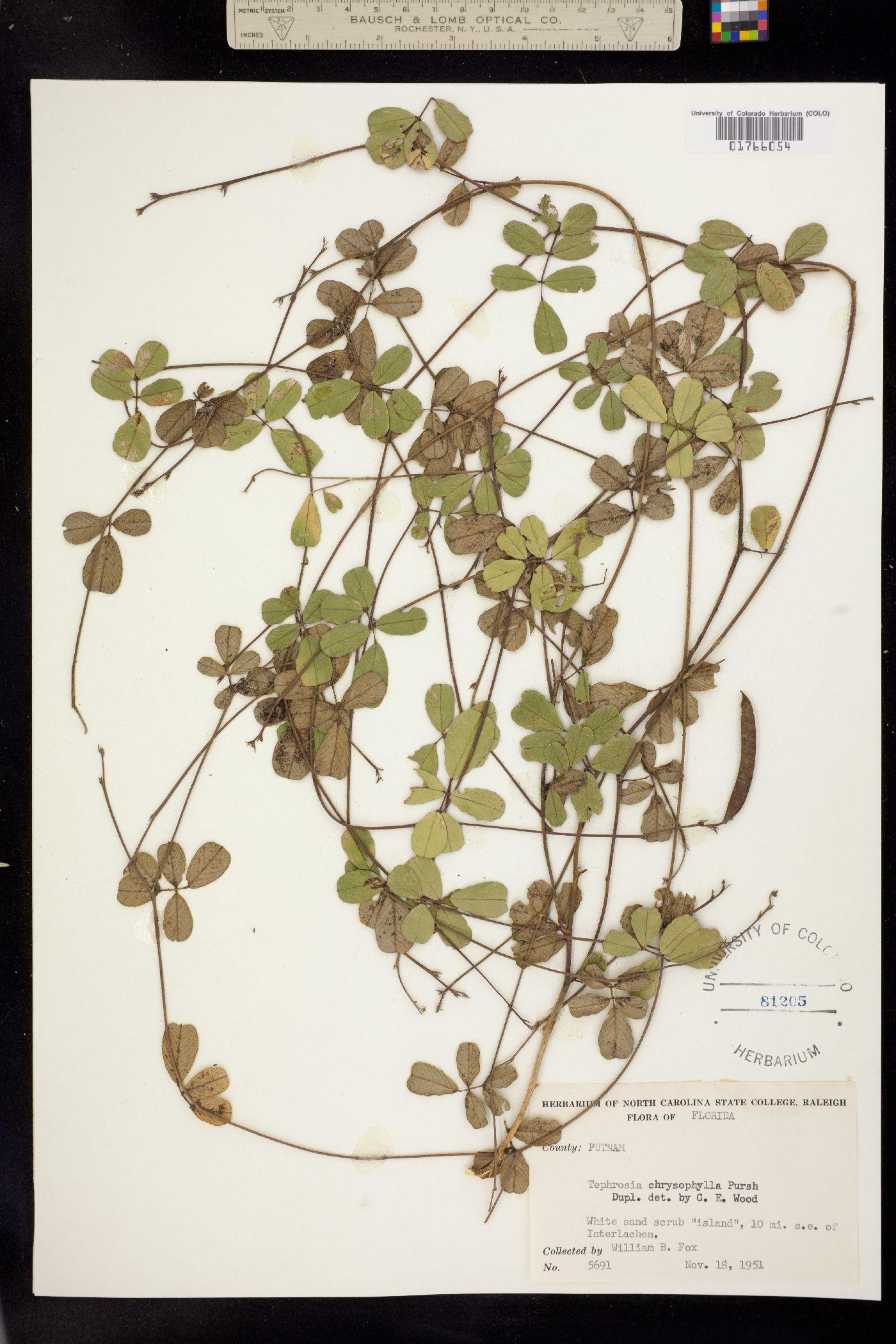 Tephrosia chrysophylla image