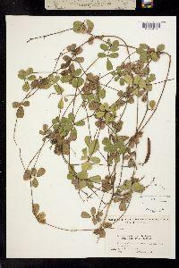 Image of Tephrosia chrysophylla