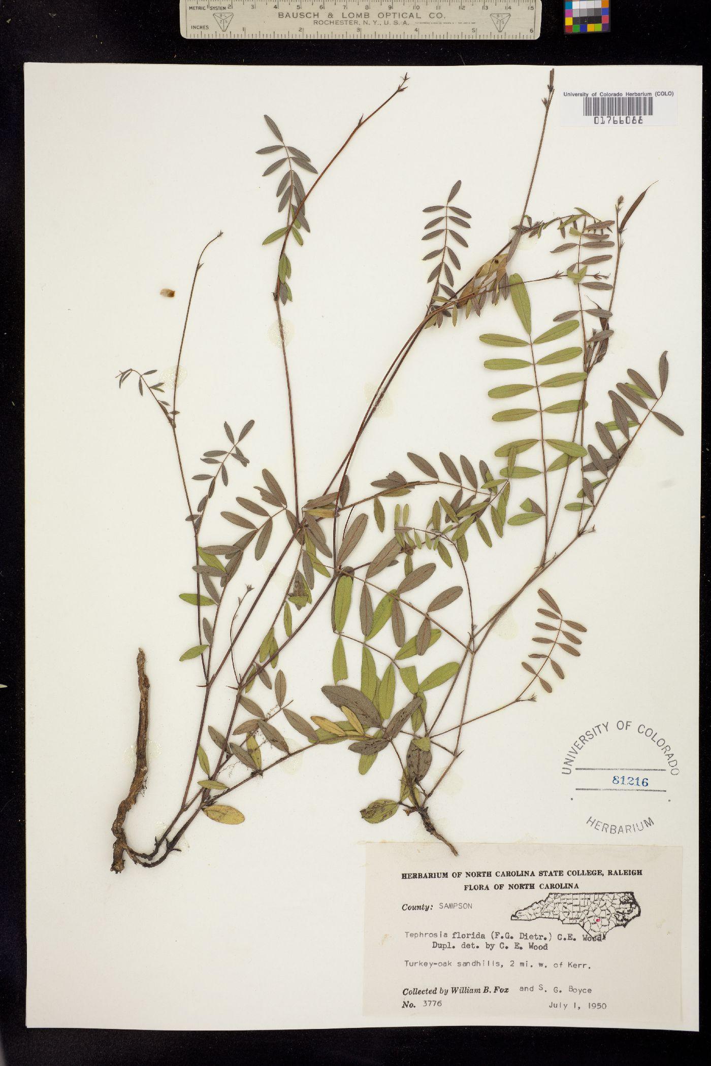 Tephrosia florida image