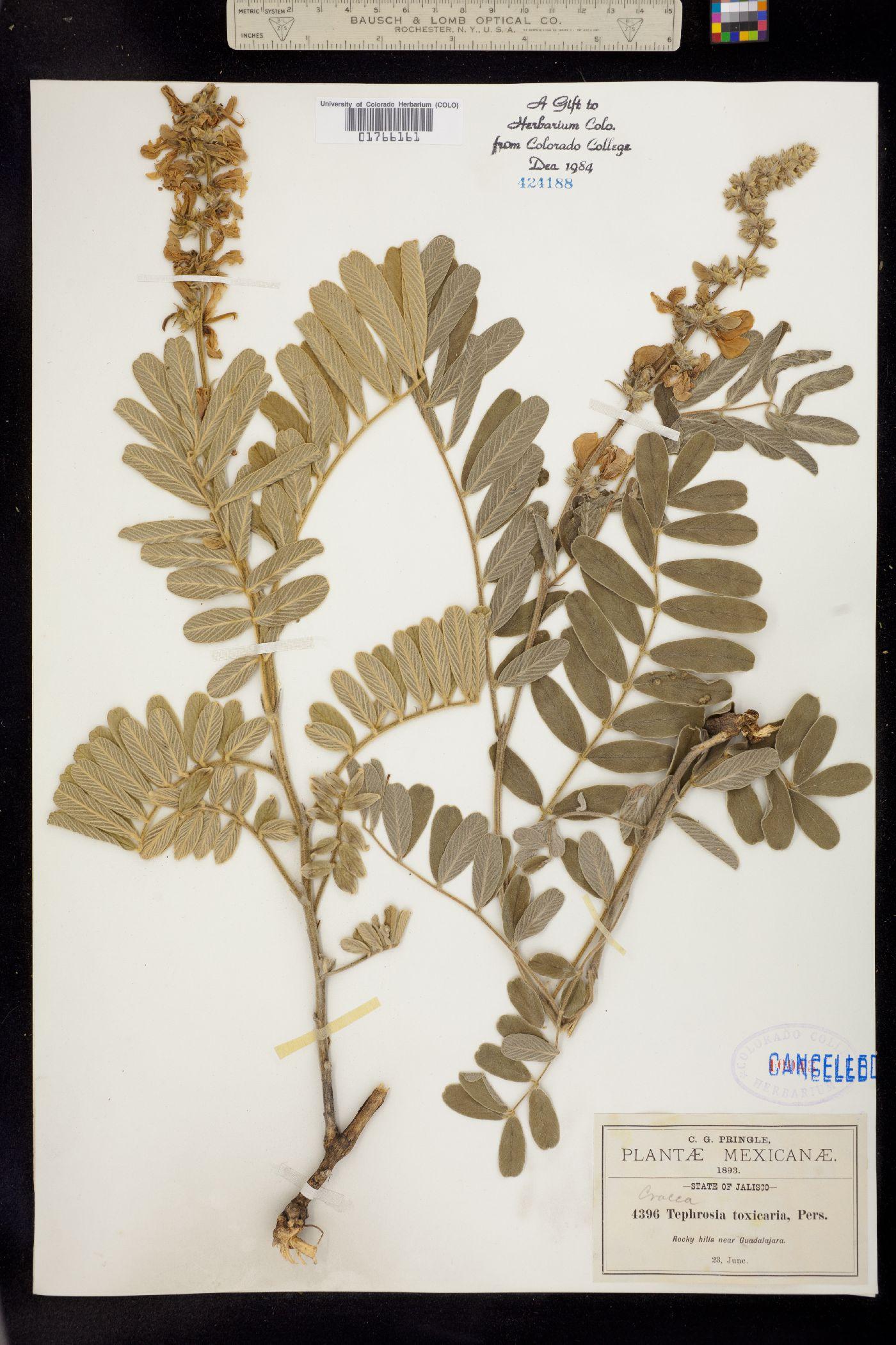 Tephrosia sinapou image