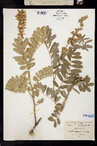 Image of Tephrosia sinapou