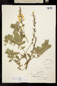 Image of Thermopsis californica