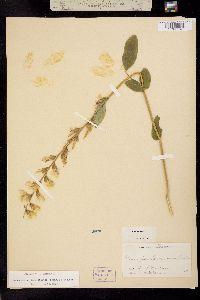 Image of Thermopsis villosa