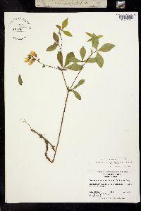 Image of Thermopsis mollis