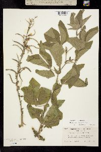Image of Thermopsis robusta