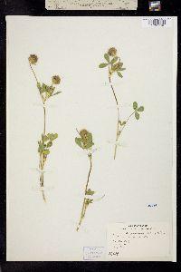 Image of Trifolium albopurpureum