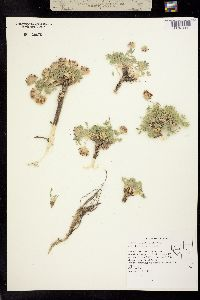 Image of Trifolium andersonii