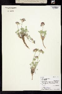 Image of Trifolium andinum