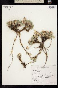 Trifolium andinum image