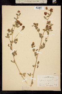 Image of Trifolium aureum