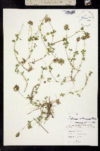 Trifolium bejariense image