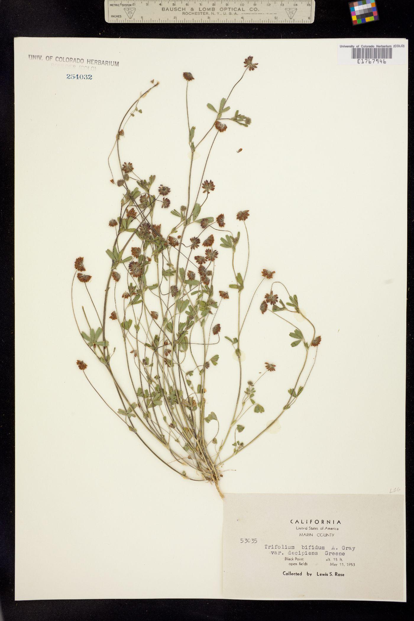 Trifolium bifidum image