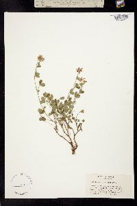 Image of Trifolium breweri