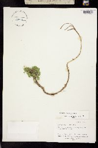 Image of Trifolium haydenii