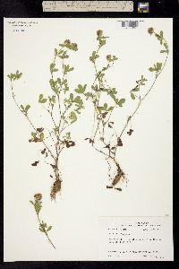 Trifolium lappaceum image