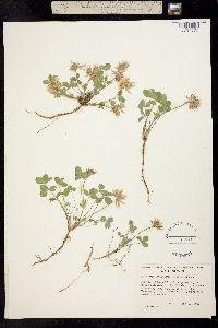 Image of Trifolium latifolium