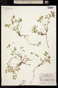 Trifolium latifolium image