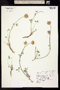 Image of Trifolium lemmonii