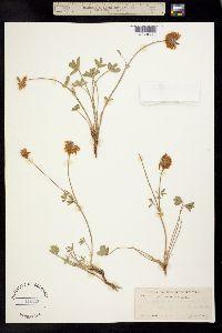 Trifolium lemmonii image