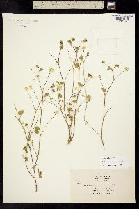 Trifolium microdon image
