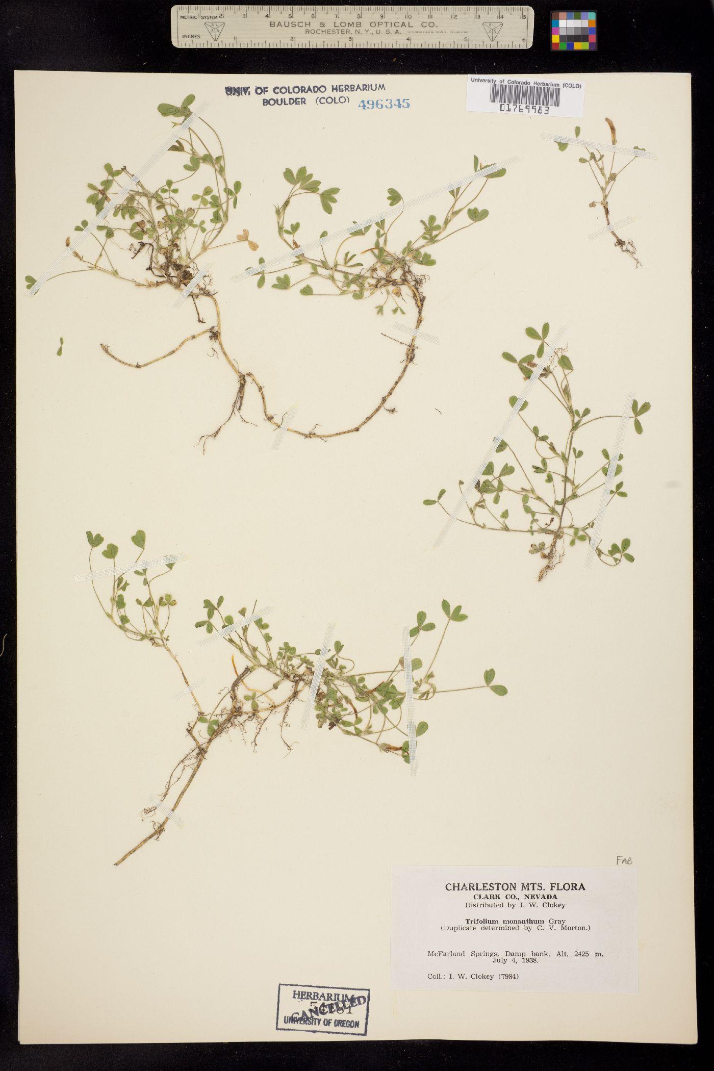 Trifolium monanthum image
