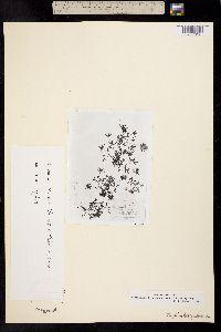 Image of Trifolium mucronatum