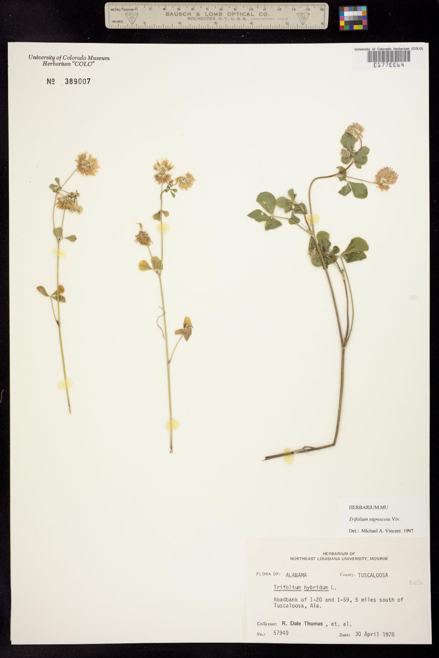 Trifolium nigrescens image