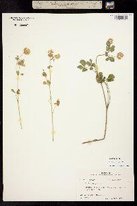 Image of Trifolium nigrescens
