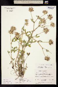 Trifolium obtusiflorum image