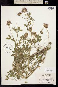 Image of Trifolium obtusiflorum