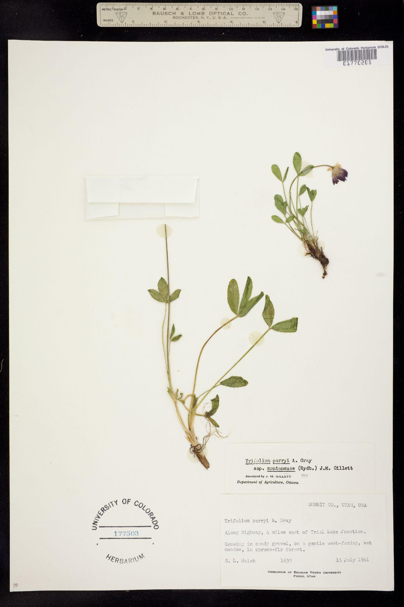 Trifolium parryi ssp. montanense image