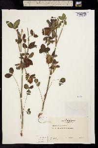 Trifolium pinetorum image
