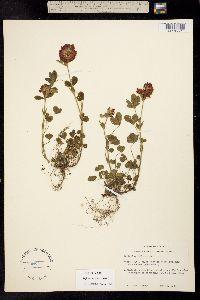 Image of Trifolium reflexum