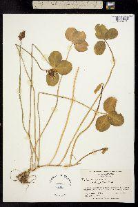 Trifolium repens image