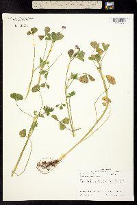 Image of Trifolium resupinatum