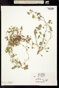 Image of Trifolium subterraneum