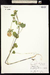 Image of Trifolium vesiculosum