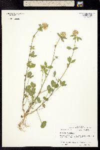 Trifolium vesiculosum image
